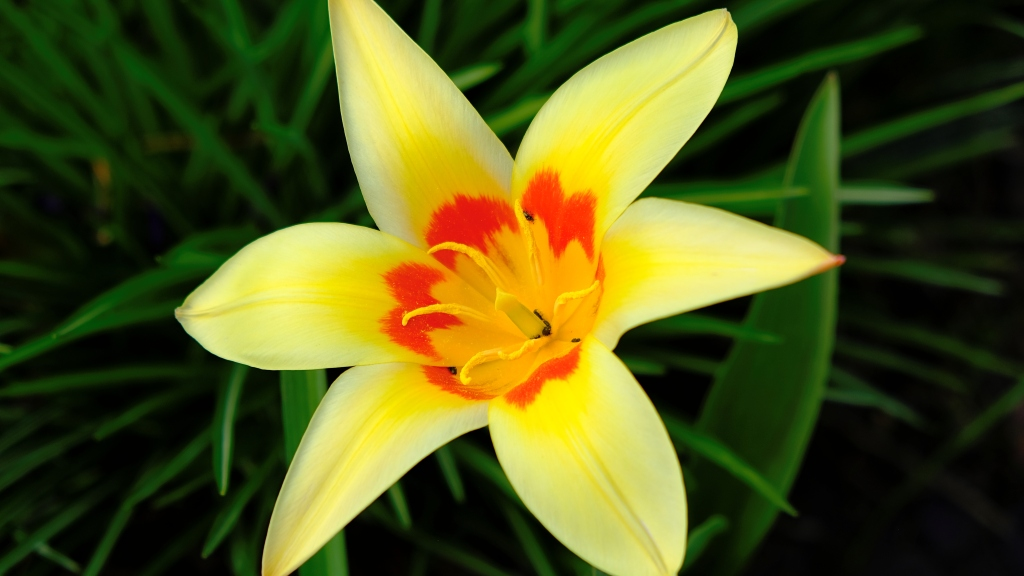 yellow tulip with red markings